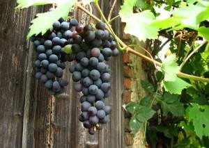 Autriche le secteur vinicole fait son bilan