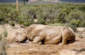 Afrique du Sud légaliser le commerce des cornes de rhinocéros